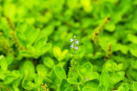 Close up of Common Speedwell, Plantaginaceae, Europe 免版税图像
