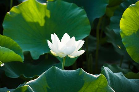 White lotus flowers