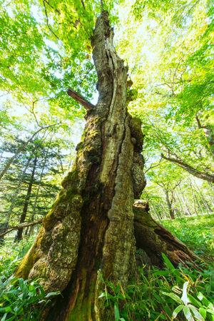 Old big tree at Nikkko