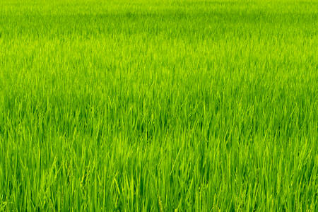 Green rice field 免版税图像
