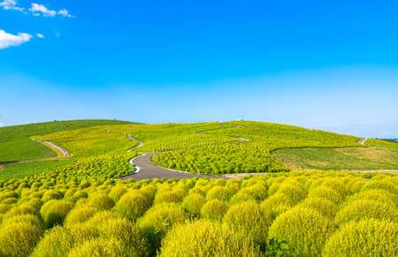 Hill of green Kochia
