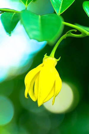 Climbing ylang ylang, Artabotrys hexapetalus 免版税图像