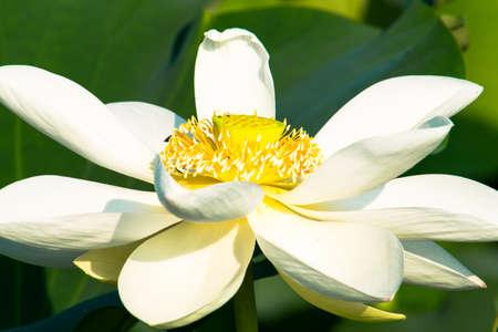 White lotus flower 免版税图像