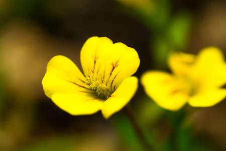 Close up of Mecardonia flower, Plantaginaceae, annual grass