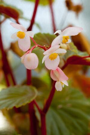 Begonia philippines  免版税图像