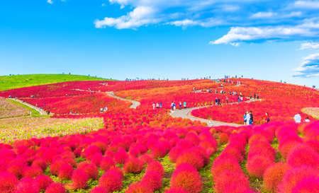 Red Kochia hill and the blue sky 免版税图像