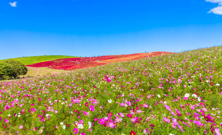 Field of cosmos flowers under the sky 免版税图像 - 33801632