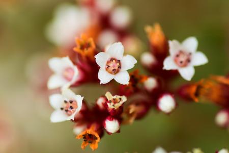 crassula: Crassula cooperi, Crassulaceae, South Africa Stock Photo