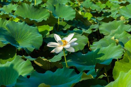 White lotus flower 免版税图像 - 33801683