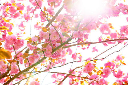 Blooming double cherry blossom tree and sunshine photo
