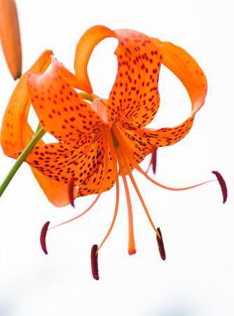 Lilium leichtlinii var. Tigrinum flower