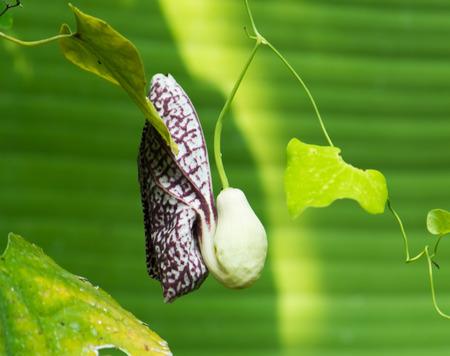 elegans: Aristolochia elegans, Aristolochiaceae Stock Photo