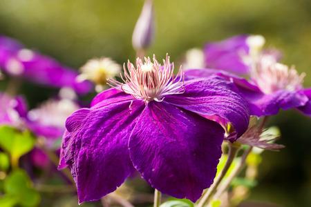 clematis flower: Purple clematis flower Stock Photo
