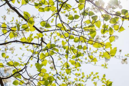 dogwood tree: White flowering dogwood tree (Cornus florida) in bloom in sky
