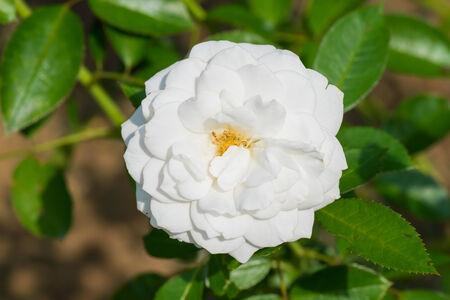 fabulous: Close up of historical white Rose, Fabulous