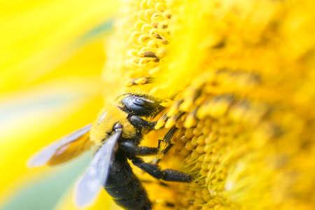 titan: Honey bee on the center of Titan sunflower
