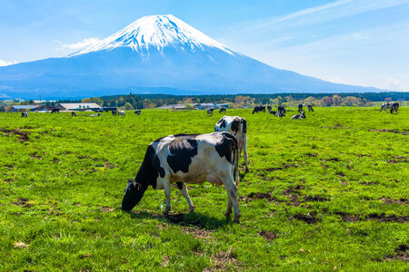 Cattle grazing in Asagirikogen to Mount Fuji views Stock Photo