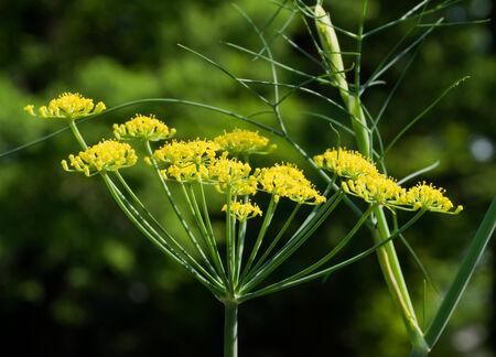 foeniculum vulgare: . Sweet funnel, Foeniculum vulgare var dulce Umbelliferae, herbs, southern Europe - West Asia