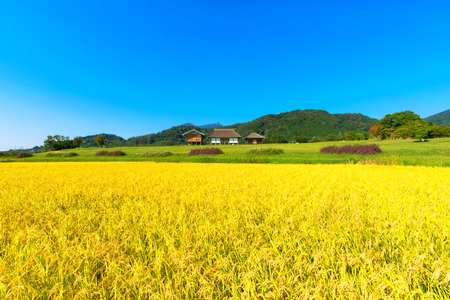 Golden ears of rice in autumn, Japan Фото со стока