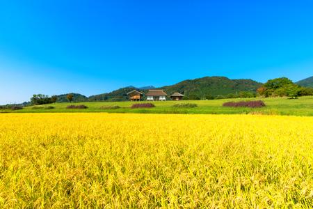 Golden ears of rice in autumn, Japan 免版税图像