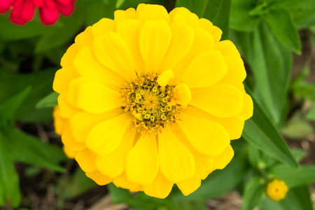 zinnia: Yellow Zinnia flower Stock Photo