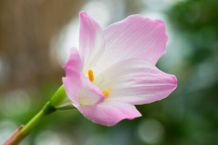 Zephyranthes lily in closeup shot  免版税图像