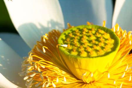 Close up of white lotus flowers 免版税图像