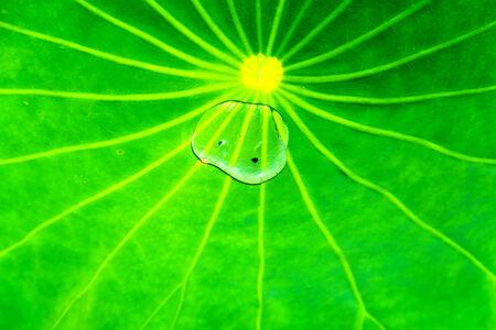 Big pad of lotus 免版税图像