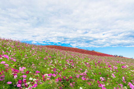 Field of cosmos flowers under the sky 免版税图像