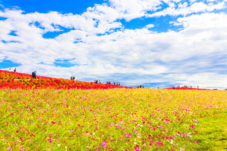 Field of cosmos flowers under the sky 免版税图像 - 33826489