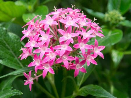 Pink pentas flowers, pentasulfide