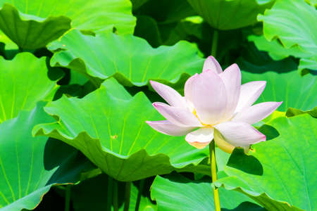 Pink lotus flower 免版税图像 - 33826493
