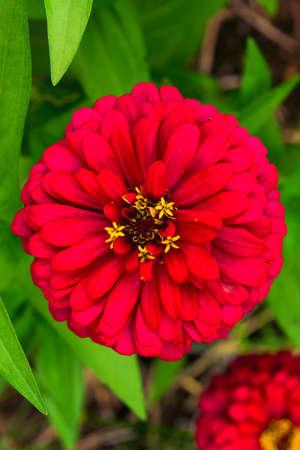 Shine red zinnia flower 免版税图像