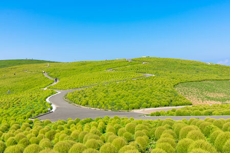 Hill of green Kochia and the blue sky