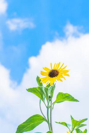 Sunflower in Summer 免版税图像 - 33826512