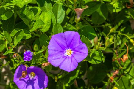 Convolvulus sabatius, Blue compactor, Convolvulaceae, Mediterranean coast