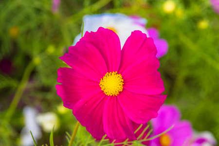 Cosmos flower 免版税图像