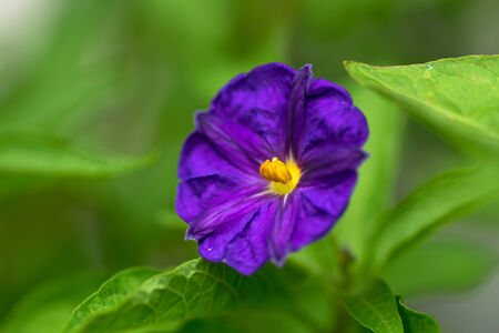 Patagonula americana Boraginaceae, South America