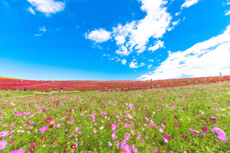Field of cosmos flowers under the sky 免版税图像 - 33826636