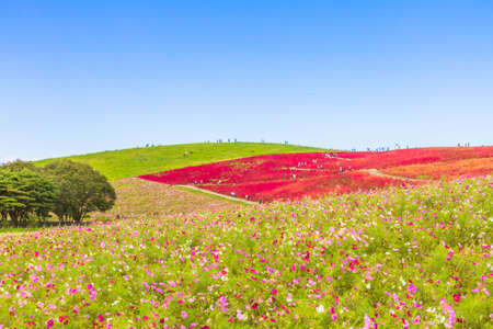 Cosmos field and red Kochia hill