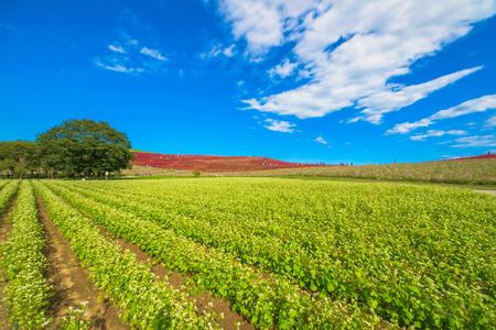 Buckwheat field 免版税图像