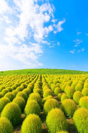 Field of green Kochia 免版税图像