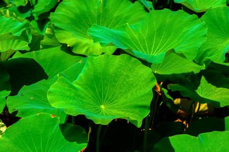 Big leaves of lotus 免版税图像