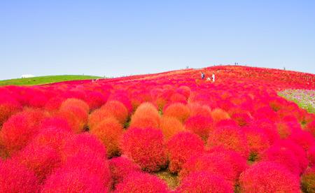 Red Kochia hill 免版税图像