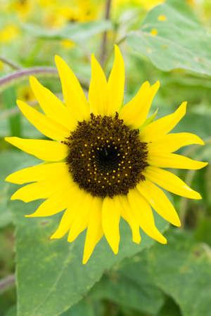 """Pacino Cola"", Sunflower in Summer 免版税图像"