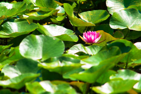 Pink water lily pond