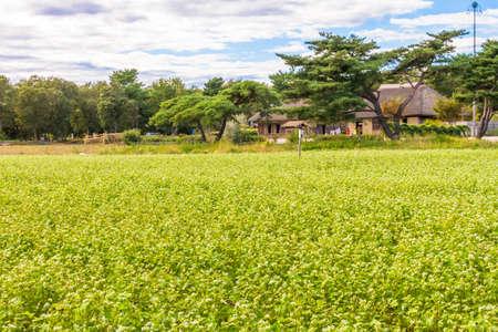 Buckwheat field in Japan