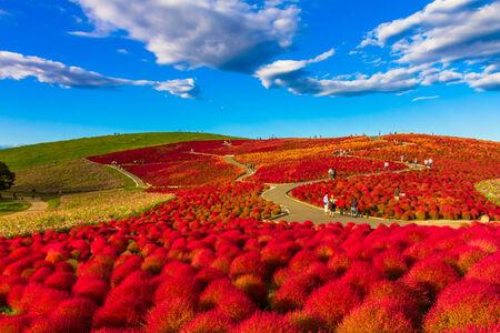 Red Kochia hill 免版税图像 - 33826537