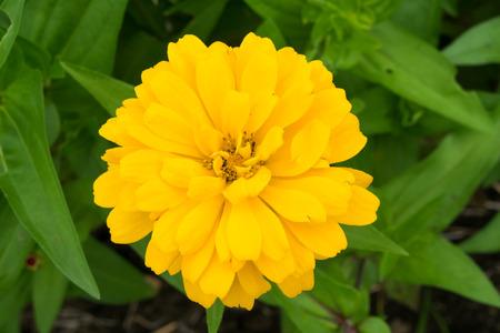 Yellow Zinnia flower 免版税图像