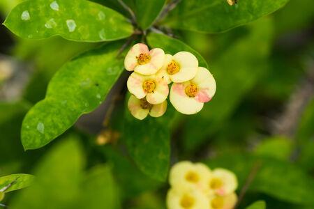 Flower of Euphoribia milii var splendens, Euphorbiaceae, Madagascar
